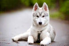 Filhote de cachorro do cão de puxar trenós Siberian no chicote de fios Foto de Stock Royalty Free