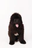 Filhote de cachorro do cão de Terra Nova Fotos de Stock