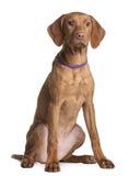 Filhote de cachorro do cão de Vizsla, sentando-se e olhando afastado imagem de stock