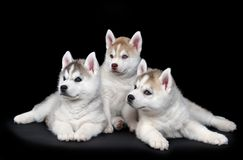Filhote de cachorro do cão do cão de puxar trenós Siberian Foto de Stock Royalty Free