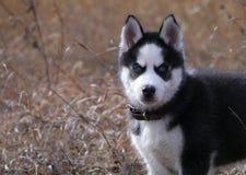 Filhote de cachorro do cão do cão de puxar trenós Siberian imagem de stock