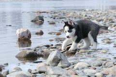 Filhote de cachorro do cão do cão de puxar trenós Siberian Fotos de Stock