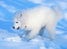 Filhote de cachorro do cão do Samoyed Foto de Stock