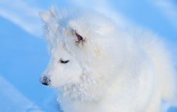 Filhote de cachorro do cão do Samoyed Imagens de Stock Royalty Free