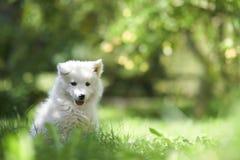 Filhote de cachorro do cão do Samoyed Fotografia de Stock