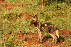 Filhote de cachorro do cão selvagem (cão de caça do cabo) Fotos de Stock