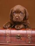 Filhote de cachorro do chocolate com um tronco. Foto de Stock
