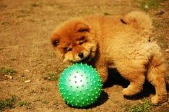 Filhote de cachorro do Chow-chow Fotos de Stock