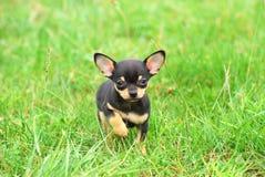 Filhote de cachorro do cão da chihuahua Fotografia de Stock