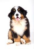 Filhote de cachorro do cão de montanha de Bernese Fotografia de Stock Royalty Free