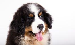 Filhote de cachorro do cão de montanha de Bernese Imagens de Stock Royalty Free