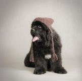 Filhote de cachorro do cão de Terra Nova Fotos de Stock Royalty Free