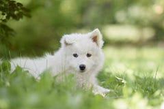 Filhote de cachorro do cão do Samoyed Imagem de Stock Royalty Free