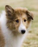 Filhote de cachorro do Collie Fotografia de Stock Royalty Free