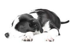 Filhote de cachorro do collie de beira Fotografia de Stock