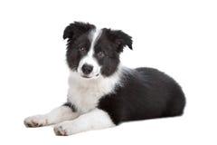 Filhote de cachorro do Collie de beira Fotos de Stock