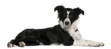 Filhote de cachorro do Collie de beira, 5 meses velho, encontrando-se Fotografia de Stock Royalty Free