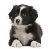 Filhote de cachorro do Collie de beira, 6 semanas velho, encontrando-se Imagens de Stock