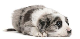 Filhote de cachorro do Collie de beira, 6 semanas velho, encontrando-se Imagem de Stock Royalty Free