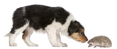 Filhote de cachorro do Collie de beira, 6 semanas velho, jogando Imagem de Stock