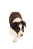Filhote de cachorro do Collie de beira Fotografia de Stock Royalty Free