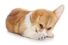 Filhote de cachorro do Corgi Fotos de Stock Royalty Free