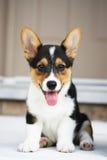 Filhote de cachorro do Corgi de Galês do Pembroke imagem de stock royalty free