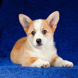 Filhote de cachorro do Corgi de Galês do Pembroke Fotos de Stock