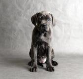 Filhote de cachorro do coro do bastão Fotos de Stock