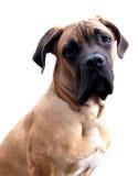 Filhote de cachorro do corso do bastão fotografia de stock royalty free