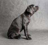 Assento do filhote de cachorro do corso do bastão Imagens de Stock