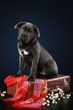 Filhote de cachorro do corso do bastão que senta-se na mala de viagem Fotografia de Stock