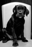 Filhote de cachorro do corso italiano do bastão Foto de Stock