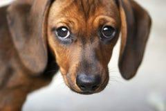 Filhote de cachorro do Dachshund Imagens de Stock Royalty Free