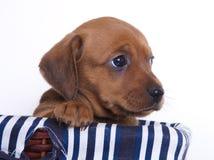 Filhote de cachorro do Dachshund fotografia de stock royalty free