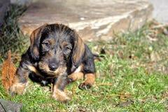 Filhote de cachorro do Dachshund imagem de stock royalty free
