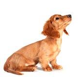 Filhote de cachorro do Dachshund fotografia de stock