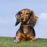 Filhote de cachorro do Dachshund (5 meses velho) Foto de Stock