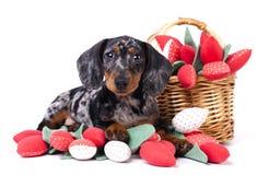 Filhote de cachorro do Dachshund em um fundo branco foto de stock royalty free