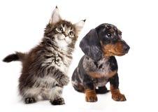 Filhote de cachorro do Dachshund em um fundo branco fotos de stock royalty free
