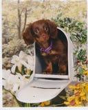 Filhote de cachorro do Dachshund em uma caixa postal Fotos de Stock Royalty Free
