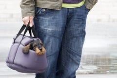 Filhote de cachorro do Dachshund no portador do animal de estimação Fotografia de Stock Royalty Free