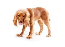 Filhote de cachorro do divertimento isolado fotografia de stock royalty free