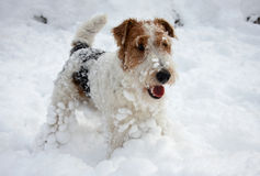 filhote de cachorro do Fox-terrier na neve Fotos de Stock Royalty Free