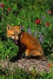 Filhote de cachorro do Fox vermelho nos Wildflowers Fotografia de Stock Royalty Free