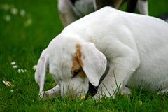 Filhote de cachorro do FoxHound fotos de stock