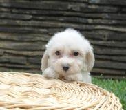 Filhote de cachorro do frise de Bichon fotografia de stock