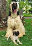Filhote de cachorro do galgo afegão e seu paizinho Foto de Stock Royalty Free