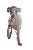 Filhote de cachorro do galgo italiano Fotografia de Stock