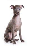 Filhote de cachorro do galgo italiano Imagem de Stock